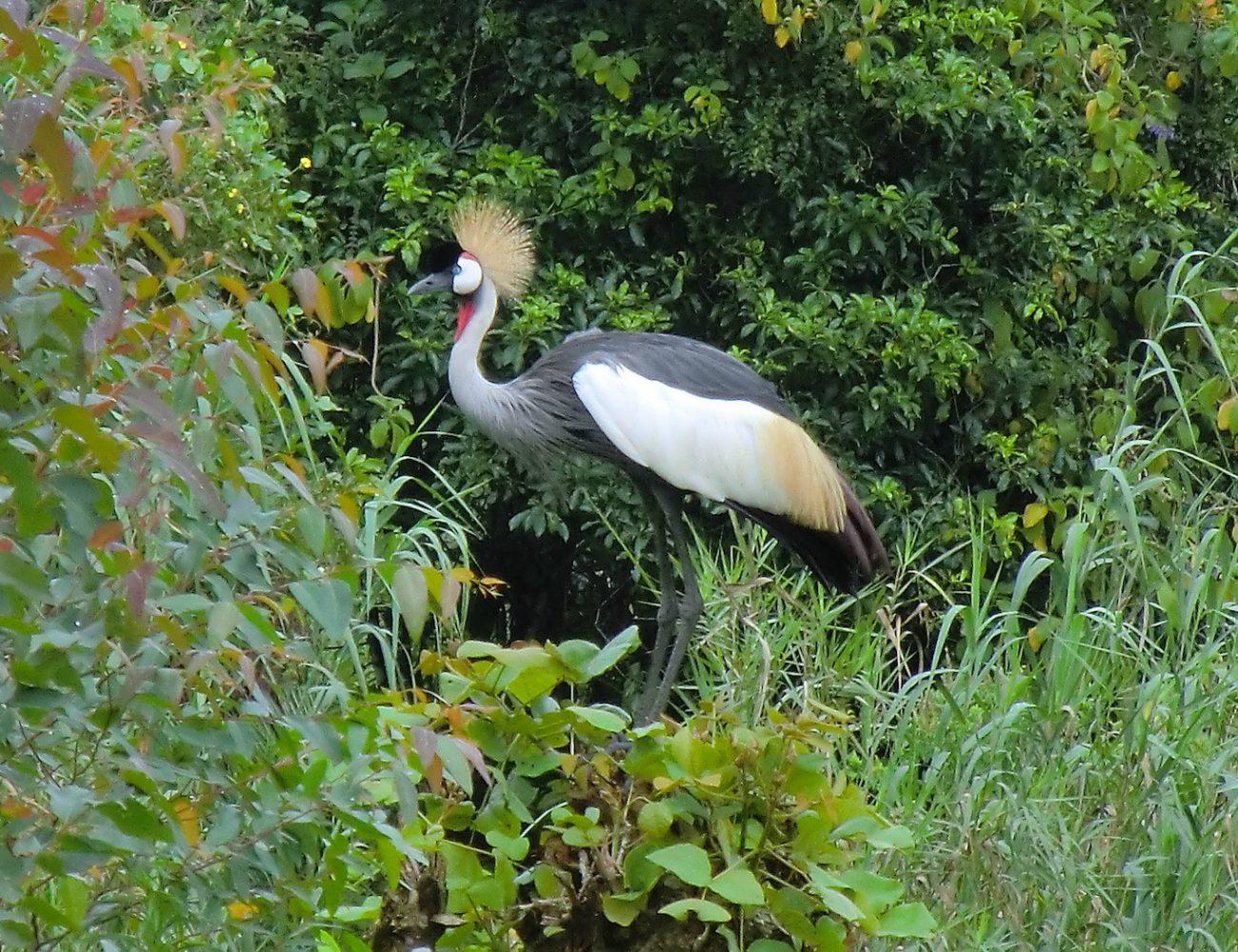 Der Kronenkranich, das Wappentier Ugandas