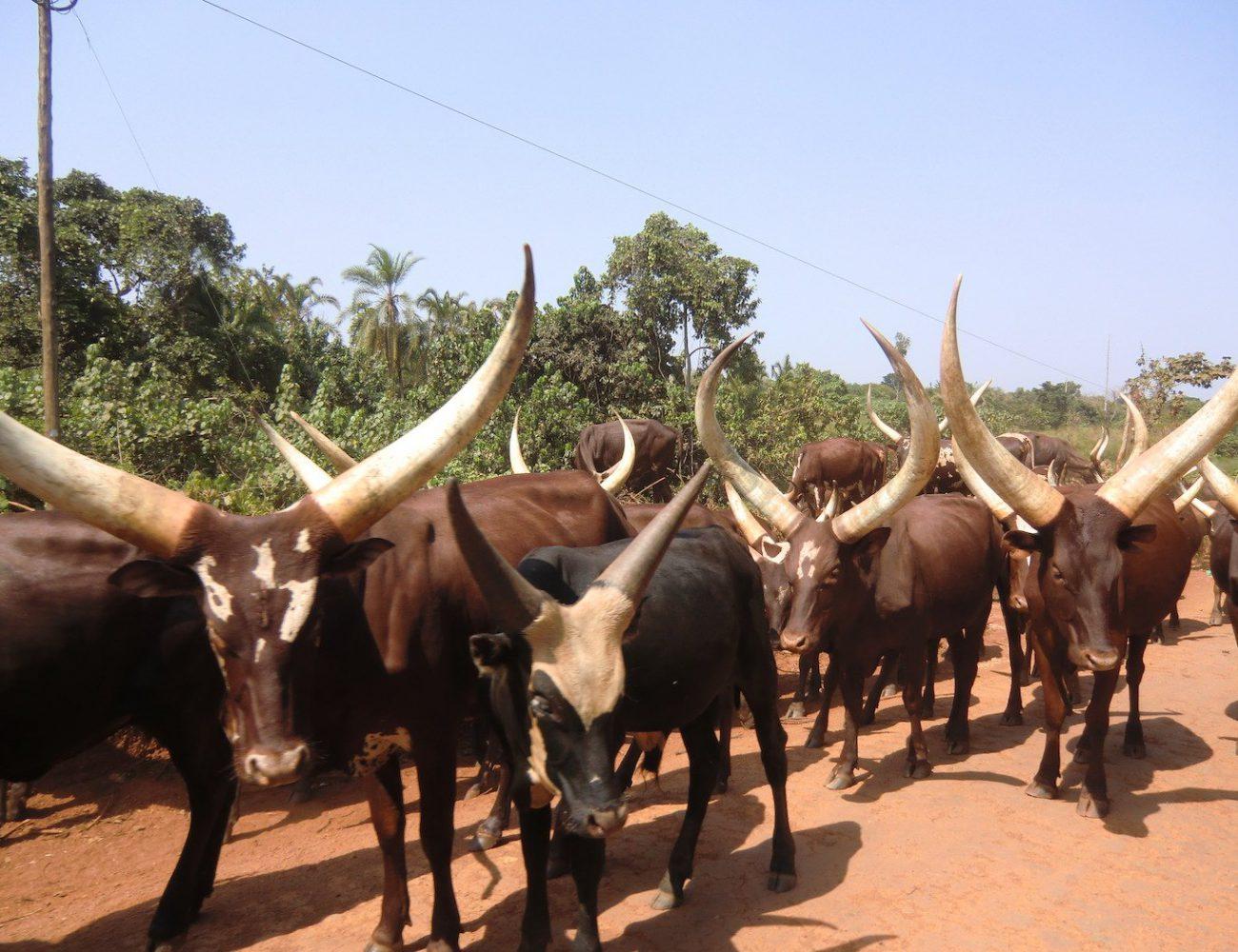 Rinderherde auf der Straße